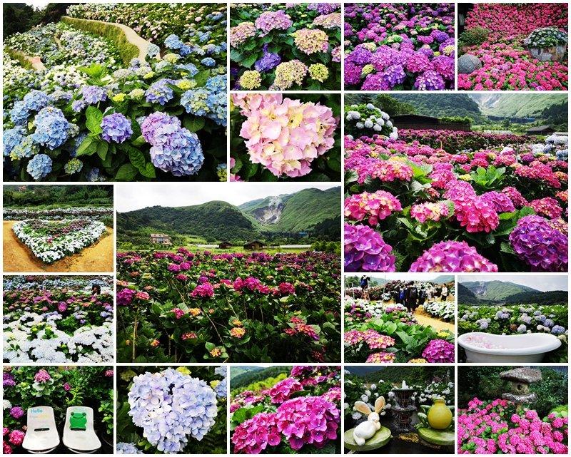 陽明山竹子湖繡球花懶人包景點推薦